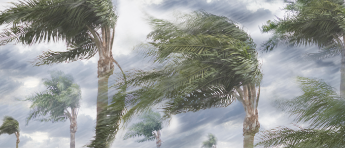 Palm trees bending in the wind and rain